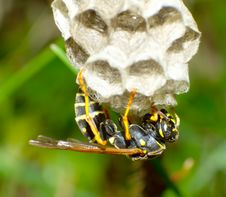 Free Wasp Stock Image - 25451711