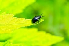 Free Beetle Royalty Free Stock Photography - 25451787