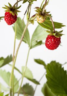 Free Wild Srawberry Royalty Free Stock Photo - 25452185