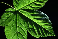 Free Green Leaf Royalty Free Stock Photography - 25454277