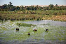 Free Animals Refresh On Nile Stock Image - 25455081