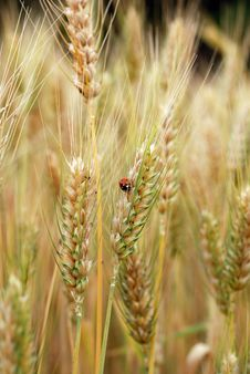 Free Ears Of Wheat And Ladybird Royalty Free Stock Images - 25455779