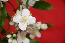 Free Jasmine Flowers Royalty Free Stock Images - 25457009