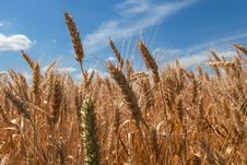 Ears Wheat Stock Photography