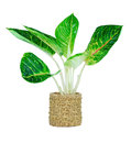 Free Houseplant For Home Garden Royalty Free Stock Photography - 25460717
