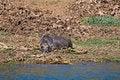 Free Wildebeest Stock Images - 25469694