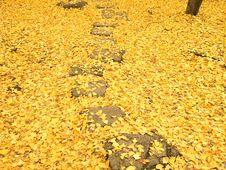 Free Path Through The Ginko Leaves Carpet Royalty Free Stock Photos - 25466068