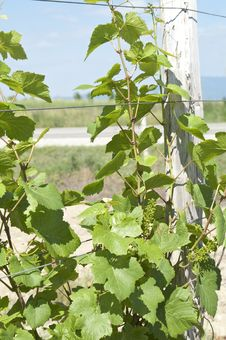 Free Vineyard Stock Photos - 25469513