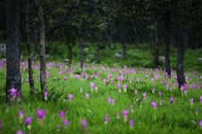 Free Siam Tulip In Forest Stock Photos - 25469633