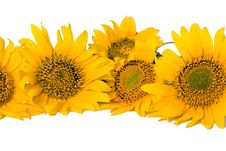 Free Sunflowers Royalty Free Stock Images - 25470819