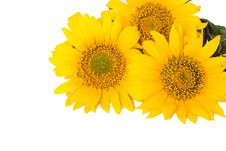 Free Sunflowers Stock Photography - 25470842