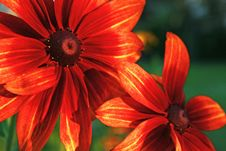Free Gerbera Stock Photography - 25471002