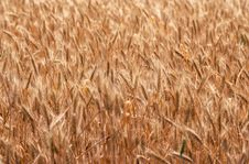 Ripening Ears Of Wheat Field Stock Images