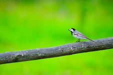 Free White Wagtail Bird Sitting On Perch Stock Photo - 25475830
