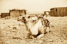 Free Vintage Photo Of Camel Stock Image - 25476561