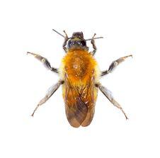 Free Bumblebee Stock Photography - 25476772