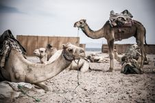 Free Camel Parking Royalty Free Stock Photos - 25477038