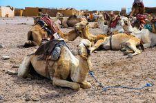 Free Camel Parking Royalty Free Stock Image - 25477086