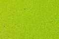 Free Green Duckweed. Royalty Free Stock Image - 25481356