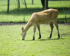 Deer Grazing On A Farmland Royalty Free Stock Photo