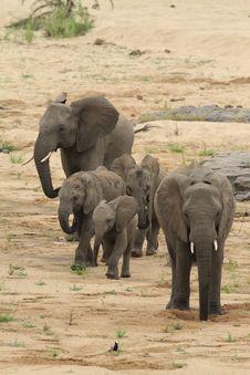 Free African Elephant &x28;Loxodonta Africana&x29; Royalty Free Stock Image - 25487646