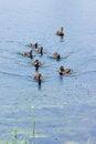 Free Ducks On The Lake Royalty Free Stock Photo - 25494125