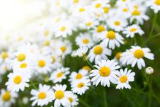 Free Daisies On Meadow Stock Image - 25490941