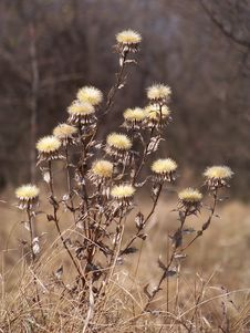 Dry Thistles Royalty Free Stock Photography