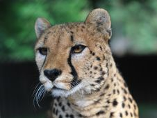 Free Portrait Of Cheetah Royalty Free Stock Image - 25492516
