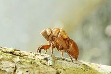 Free Cicada Shell Stock Photos - 25493173