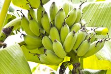 Free Bunch Of Ripening Bananas Royalty Free Stock Images - 25493629