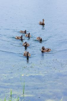 Free Ducks On The Lake Royalty Free Stock Photo - 25494125