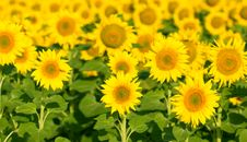 Free Sunflowers Stock Images - 25497224