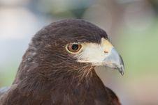 Free A Closeup Of A Harris Hawk Stock Image - 25499391