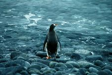Free Gentoo Penguin Royalty Free Stock Images - 2550599