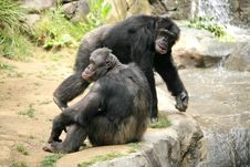 Free Relaxed Chimpanzees Royalty Free Stock Image - 2550626