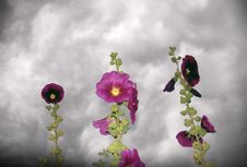 Free Stormy Hollyhocks Stock Photo - 2551990