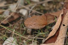 Copperhead Snake Royalty Free Stock Photo
