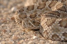 Free Prairie Rattlesnake Stock Photo - 2552150