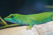 Free Giant Madagascar Day Gecko Royalty Free Stock Image - 2554266