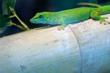 Free Giant Madagascar Day Gecko Stock Photo - 2554270
