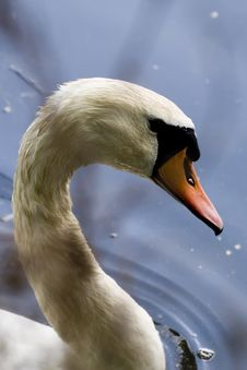 Free Swan Royalty Free Stock Photography - 2554837