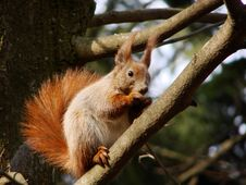 Free Squirrel Royalty Free Stock Image - 2554876