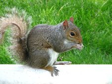 Free Squirrel Nibbling Royalty Free Stock Images - 2555359