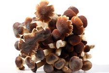 Free Southern Poplar Mushroom Stock Photos - 2555473