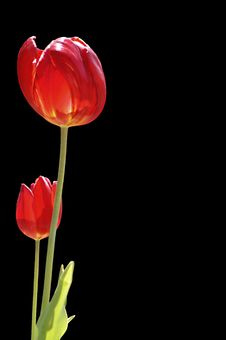 Free Red Tulips Royalty Free Stock Photos - 2559618