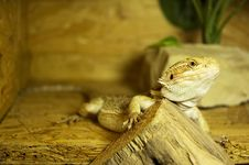 Free Pogona Vitticeps 2 Stock Photos - 2559923