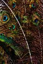 Free Peacock Feathers Stock Photography - 25502652