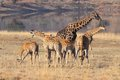 Free Giraffe Family Stock Photos - 25504073