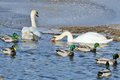 Free Mallard Ducks And Swans Swimming In The Lake Royalty Free Stock Image - 25506006